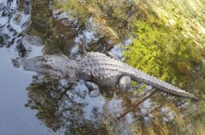 Аллигатор в своей родной среде